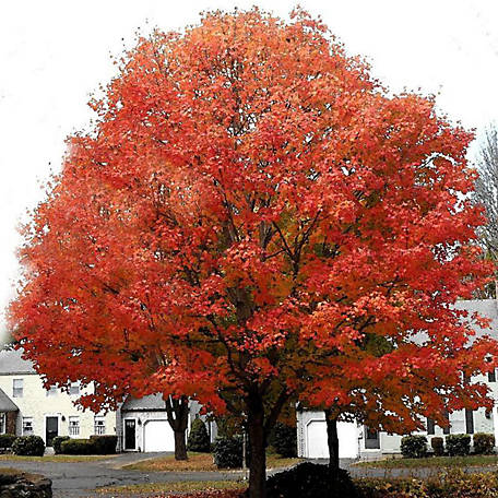 Pirtle Nursery Red Scarlet Maple #5, 3.74 gal.