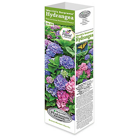 DeGroot Shrub Hydrangea Merritts Supreme, 1 Plant