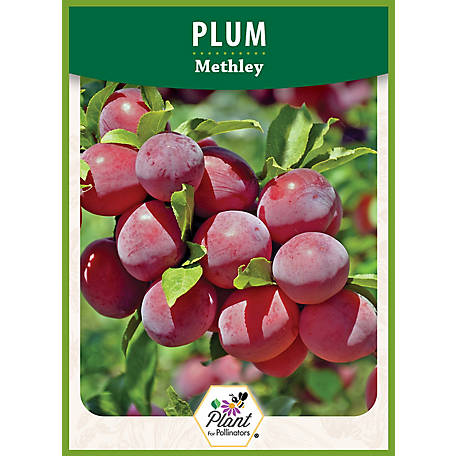 DeGroot Plum Tree Methley, 1 Plant