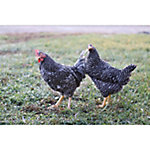Hoover's Hatchery Barred Rock Chickens, 10 Count Baby Chicks