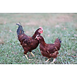 Rhode Island Red Chickens, Sold in Quantities of 10