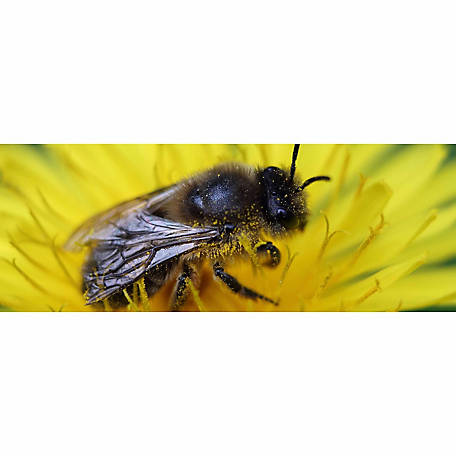 Crown Bees Certificate for Mason Bee Cocoons, 10 Count