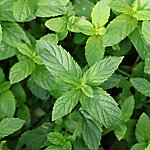 Burpee Herb Peppermint, 2 Piece Plant