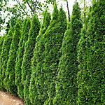 Cottage Hill Arborvitae Emerald Green, 1-Piece