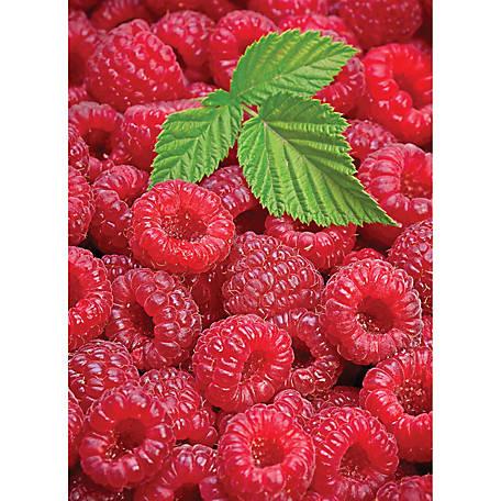 DeGroot Raspberry Joan J Thornless, 1 Plant