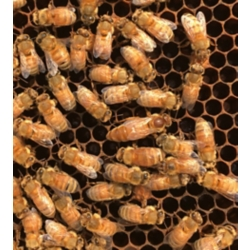 Shop Live Honey Bees at Tractor Supply Co.