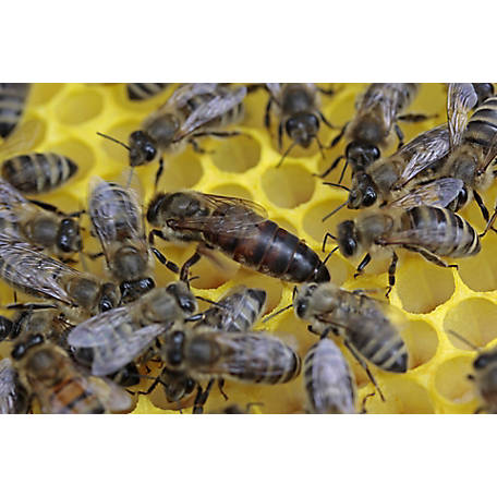 Harvest Lane Honey Live Carniolan Honey Bees, 3 lb. Package, BEESCA-101