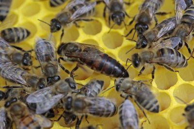 Carnolian Bees