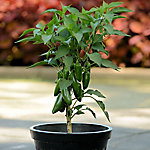 Burpee Pepper 'Jalapeno Gigante', 1-Piece Plant with Purpose