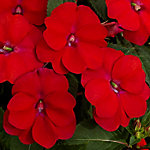 Cottage Farms SunPatiens 'Compact Fire Red', 4-Piece Plant with Purpose
