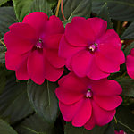 Cottage Farms SunPatiens 'Compact Royal Magenta',, 4-Piece Plant with Purpose