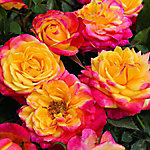 Cottage Farms Mini Rose 'Rainbow Sunblaze', 1-Piece Plant with Purpose