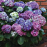 Cottage Farms Hydrangea LA Dreamin, 2 Piece Plant