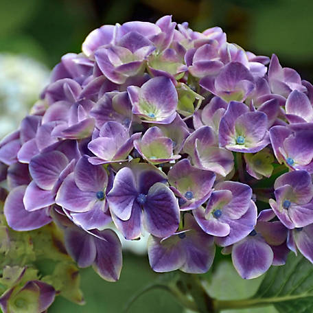 Cottage Farms Hydrangea Violet Crown, 2 Piece Plant