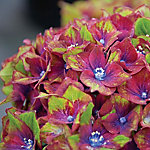 Cottage Farms Hydrangea Pistachio, 2 Piece Plant