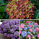 Cottage Farms Hydrangea Collection- 3 piece - Plant with Purpose