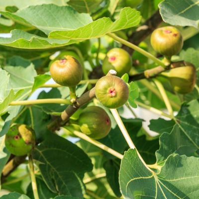 Cottage Farms Fig 'Champagne'; 1-Piece Plant with Purpose