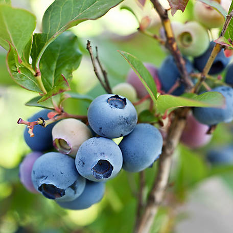 Cottage Farms Blueberry 'Brightwell', 1-Piece Plant with Purpose, 2.25 gal.