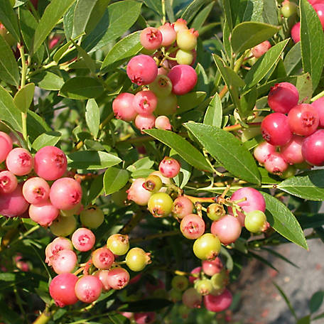 Cottage Farms Blueberry 'Pink Lemonade', 1-Piece Plant with Purpose, 2.5 qt.