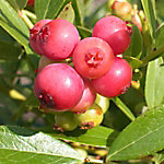 Cottage Farms Blueberry 'Pink Lemonade', 1-Piece Plant with Purpose, 2.25 gal.