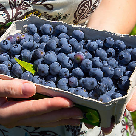 Cottage Farms Blueberry 'Premier', 1-Piece Plant with Purpose, 2.25 gal.