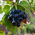 Cottage Farms Grape Muscadine 'Black Fry', 1-Piece Plant with Purpose, 2.5 qt.