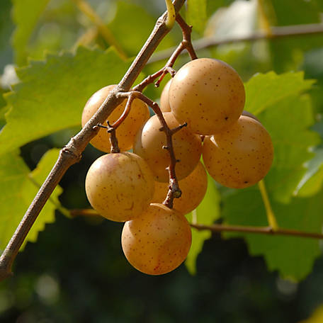 Cottage Farms Grape Muscadine 'Carlos', 1-Piece Plant with Purpose, 2.5 qt.