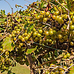 Cottage Farms Grape Muscadine 'Fry', 1-Piece Plant with Purpose, 2.5 qt.