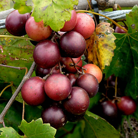 Cottage Farms Grape Muscadine 'Georgia Red', 1-Piece Plant with Purpose, 2.5 qt.