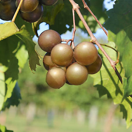 Cottage Farms Grape Muscadine 'Scuppernog', 1-Piece Plant with Purpose, 2.25 gal.