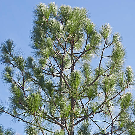 Cottage Farms Longleaf Pine- 1 Piece - Plant with Purpose, TSC5056