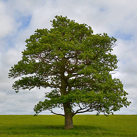 Cottage Farms Swamp White Oak, 1-Piece Plant with Purpose, TSC5060