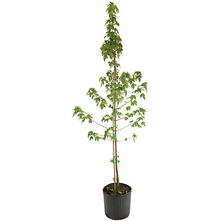 Cottage Farms Trident Maple, 1-Piece Plant with Purpose, TSC5061