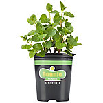Bonnie Plants Spearmint