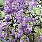 Van Zyverden Wisteria Purple, 1 Root Stock