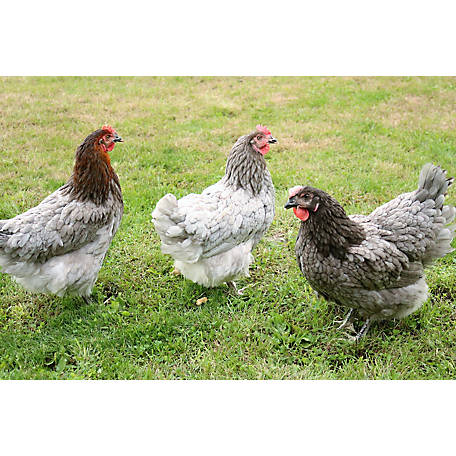 Hoover's Hatchery Sapphire Gem Chickens, 10 Count Baby Chicks
