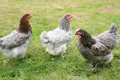 Sapphire Gem Chickens Sold In Quantities Of 10 At Tractor Supply Co
