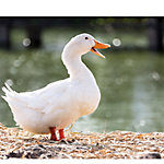 Hoover's Hatchery White Layer Ducks, 10 Count Baby Ducklings, WLD