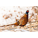 Hoover's Hatchery Ringneck Pheasants, 10 Count Baby Chicks