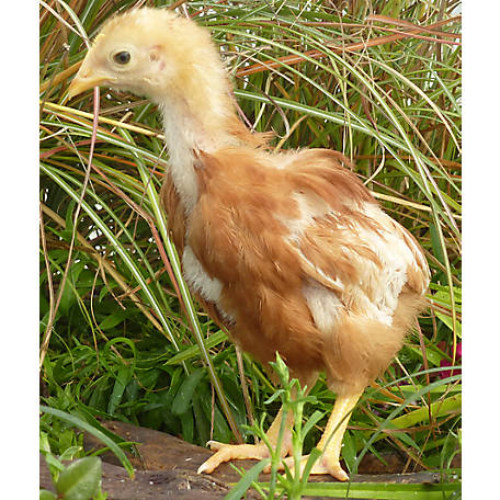 Hoover's Hatchery ISA Brown Started Pullet Chickens, 4 Weeks 4 Count Pullets