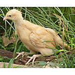 Hoover's Hatchery Buff Orpington Started Pullet Chickens, 4 Week, 4 Count, BOSP4