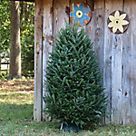 Cottage Farms Direct Christmas Tree 6-7 ft. Live Evergreen Fraser Fir - Cottage Hill