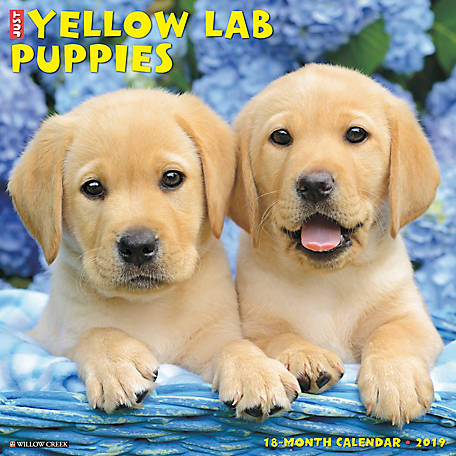 Willow Creek Press 2019 Just Yellow Lab Puppies Wall Calend At