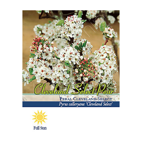 Pirtle Nursery Cleveland Select Flowering Pear #7, 6.093 gal.