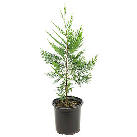 Cottage Farms Direct Cypress Leyland 1-Piece Plant With Purpose, TSC5085