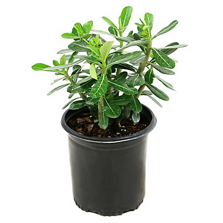 Cottage Farms Direct Desert Rose 1-Piece Plant With Purpose, TSC1038