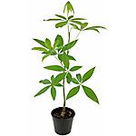 Cottage Farms Direct Money Tree 1-Piece Plant With Purpose, TSC1039
