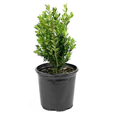 Cottage Farms Direct Boxwood Wintergreen 1-Piece Plant With Purpose, TSC1041