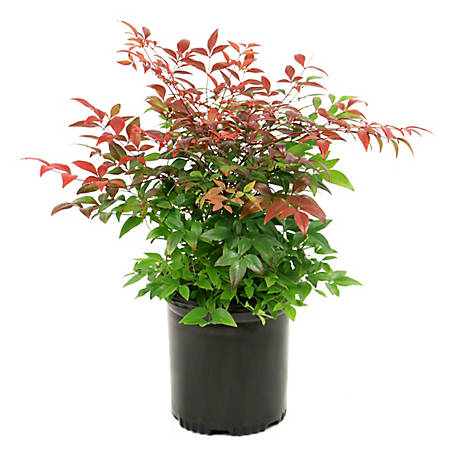 Cottage Farms Direct Nandina Gulf Stream 1-Piece Plant With Purpose, TSC1045