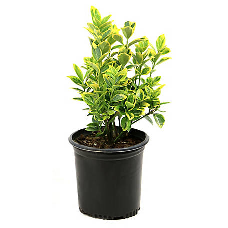 Cottage Farms Direct Euonymus Golden1-Piece Plant With Purpose, TSC1046